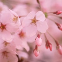 Cherry Blossoms Photographic Print at Art.com