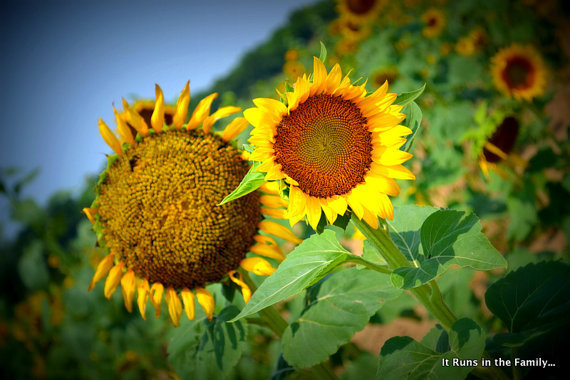 Sunflower Field Detour Series No 3 5x7 Photo by ItRunsInTheFamily