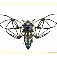 Death's Head Hawkmoth Skeleton