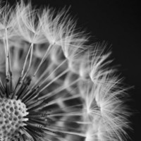Dandelion Wishes - Original Black and White Fine Art | houseofsixcats - Earth Friendly on ArtFire