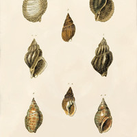 Antique Shells Art Print - 5 x 7 - Shells 4