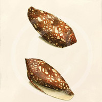 Beautiful Sea Shell Print Collage - 5 x 7 - Porphyry Cone