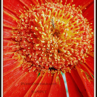 Red Gerber Daisy Close Up 5x7 by PurdyPhotography on Etsy