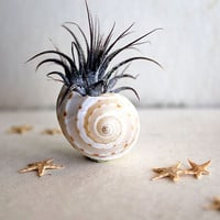petite  air plant  tillandsia  starfish  terrarium by peacocktaco