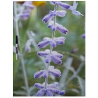 Purple Pervoskia: Russian Sage Dry Erase Board from Zazzle.com