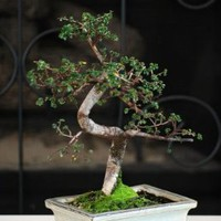 "9GreenBox - Live Chinese Elm Bonsai 10 Years Old in 8"" Ceramic Vase:Amazon:Patio, Lawn & Garden"