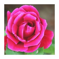 Vibrant Fuschia Pink Rose Blossom Makro Stretched Canvas Print from Zazzle.com