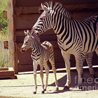 Zebra Mom and Baby Photograph by Methune Hively - Zebra Mom and Baby Fine Art Prints and Posters for Sale