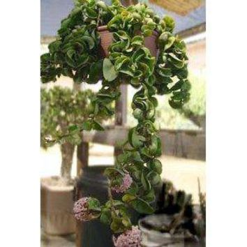 "Amazon.com: Hindu or Indian Rope Plant - Hoya - 6"" Hanging Basket: Patio, Lawn & Garden"
