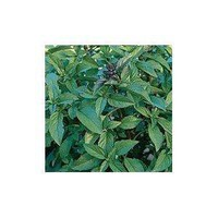 Amazon.com: Thai Basil Herb 100 Seeds - GARDEN FRESH PACK!: Patio, Lawn & Garden