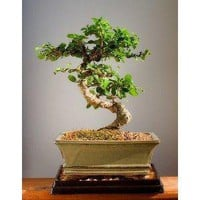 Amazon.com: Imported Fukien Tea Bonsai Tree by Sheryls Shop: Home &amp; Garden