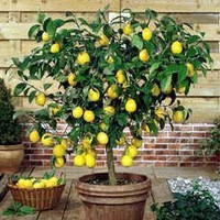 Lemon Tree citrus lemon 10 seeds