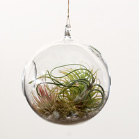 Hanging Globe with Tillandsias, Planting Kit