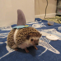Hedgehog /  Guinea pig Shark costume by ChubbyHedgehog on Etsy