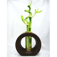 9GreenBox - Live Spiral 3 Style Lucky Bamboo Plant Arrangement with Ceramic Vase Brown: Amazon.com: Grocery & Gourmet Food