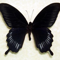 Giant Swallowtail Papilio Deiphobus Real Framed Black Butterfly 8049