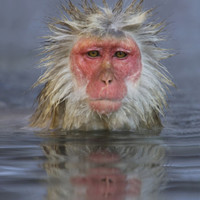 Japanese Macaque Photographic Print by John Cornell at Art.com
