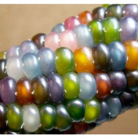 Glass Gem Corn, Native American Heritage Corn Seeds, Cherokee, Highly Sought After, Organically Grown, 20 Seeds