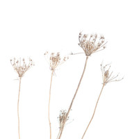 Winter photography, Queen Anne's Lace, neutral, snow, white, beige, modern decor, cottage, cabin, straw, simplicity, nature