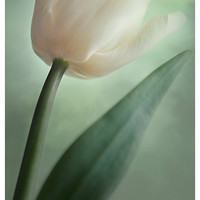 Flower photography nature photography floral home decor tulip fine art print white green pastel wall art spring decor floral wall decor