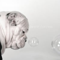 Bulldog, english bulldog, dog, bubbles, animals, pets, fine art photography, home decor, dog lover