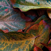 Persimmon Tree Leaves