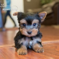 Buy a Teacup Yorkie puppy , from Dreamy Puppy available only at DreamyPuppy.com Place a $200.00 deposit online!