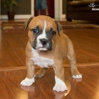 Buy a Valley Bulldog puppy , from Dreamy Puppy available only at DreamyPuppy.com Place a $200.00 deposit online!