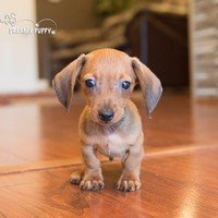 Buy a Toy Dachshund puppy , from Dreamy Puppy available only at DreamyPuppy.com Place a $200.00 deposit online!