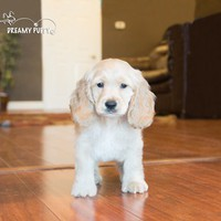 Buy a Cocker Spaniel puppy , from Dreamy Puppy available only at DreamyPuppy.com Place a $200.00 deposit online!