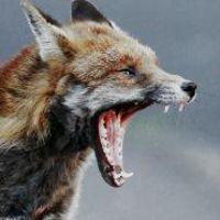 FoxSocks